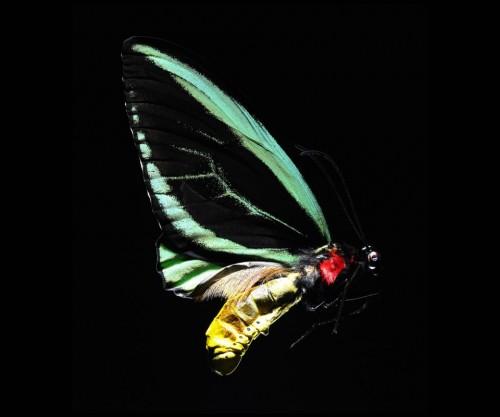 borboleta tema