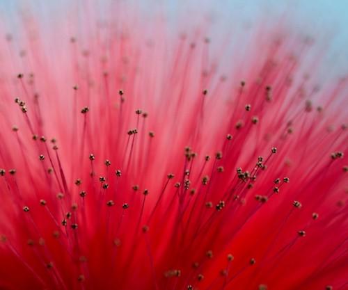 flor_mimosa.jpg