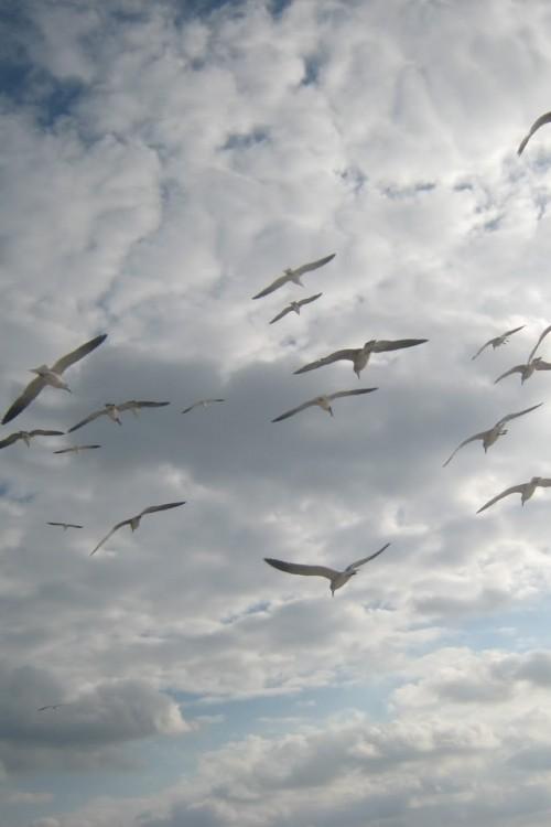 gaivotas_voando.jpg