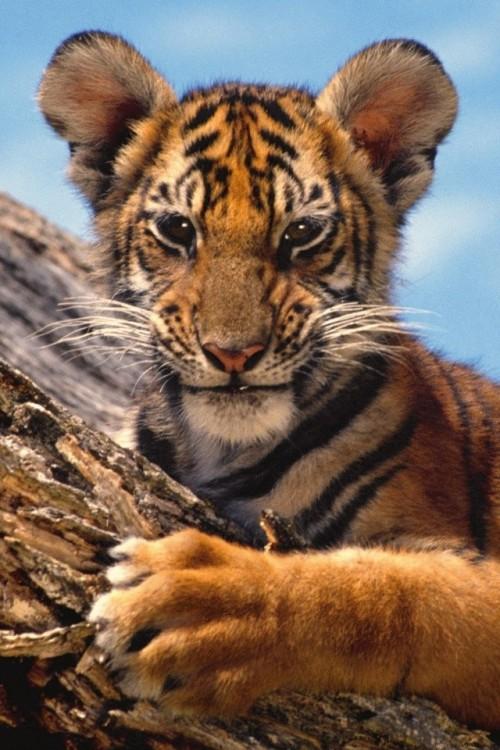 tigre_bebe.jpg