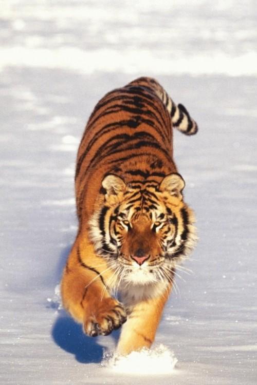 tigre na neve