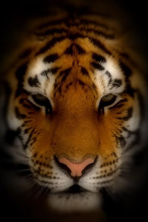 tigre_rosto.jpg